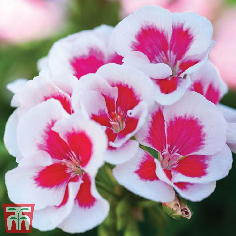 Image of Geranium 'Flower Fairy White Splash'