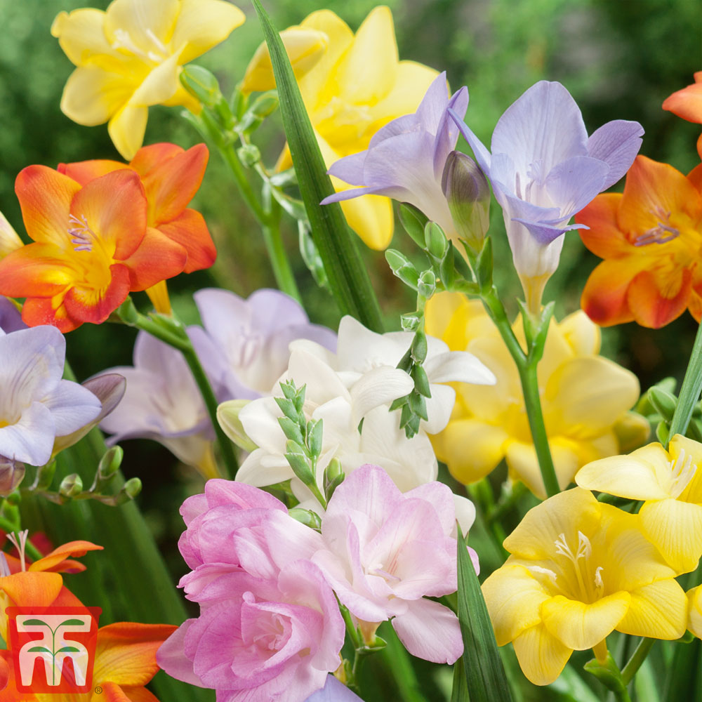 Image of Freesia 'River' Mixed (River Series)
