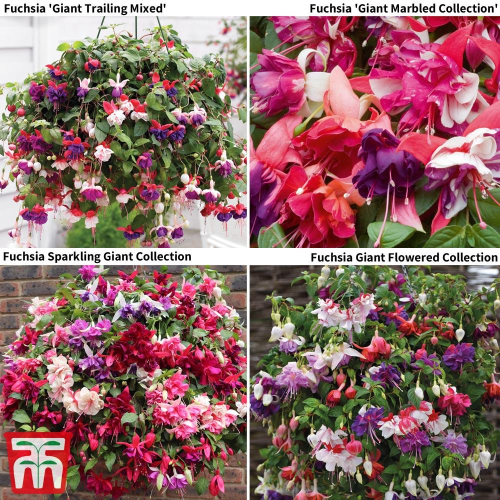 Image of Fuchsia Saver Collection