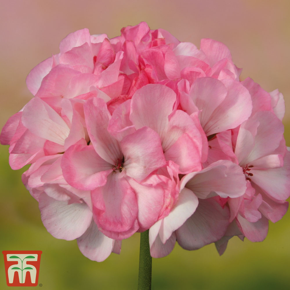 Image of Geranium 'Grandeur® Power Blush'