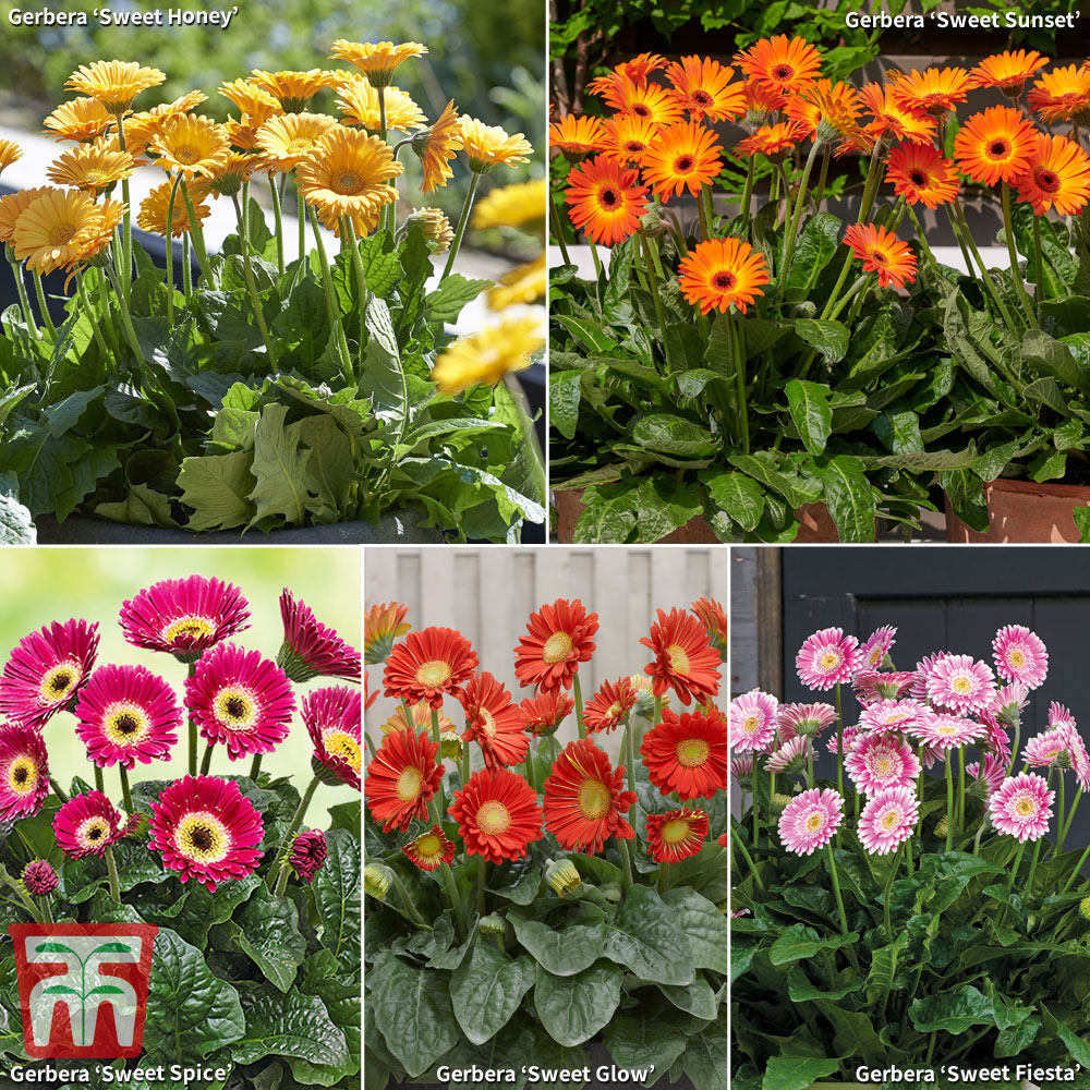 Image of Gerbera Large Sweet Collection