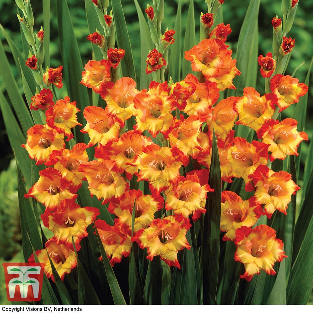 Image of Gladiolus 'Princess Margaret Rose'