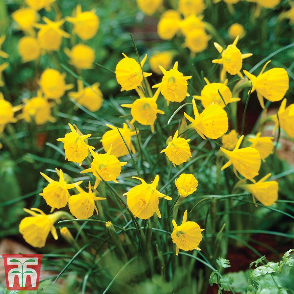 Image of Narcissus bulbocodium 'Golden Bells'