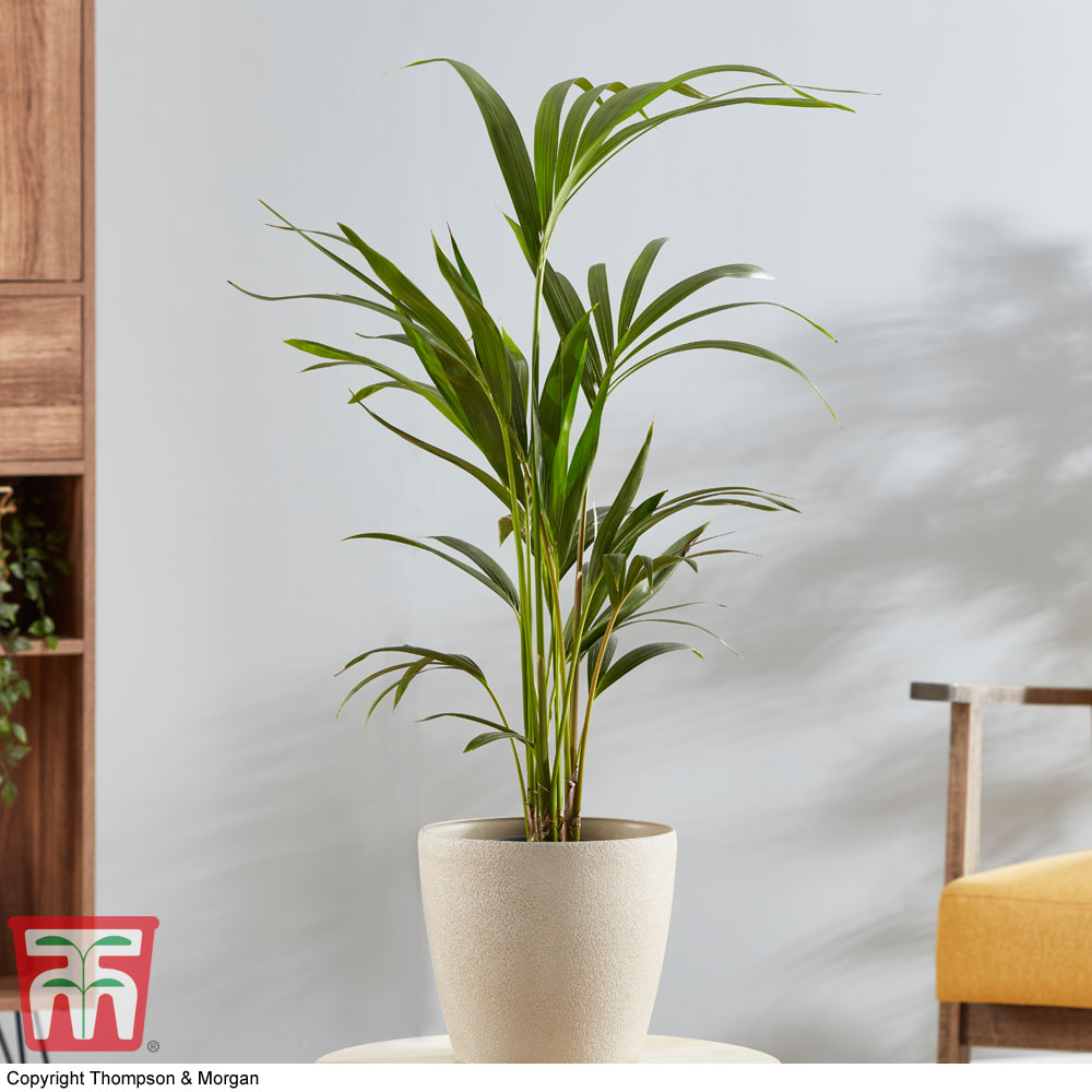 Image of Kentia Palm (House Plant)