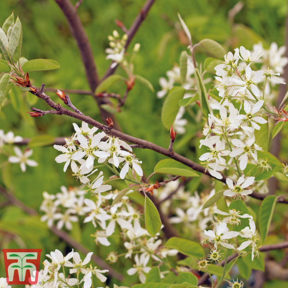 Image of Amelanchier canadensis