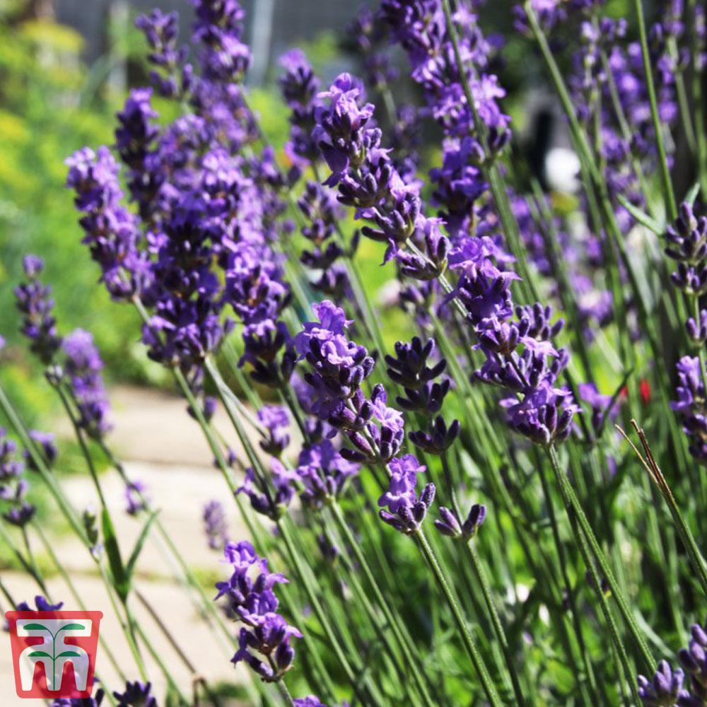 Image of Hardy English Lavender