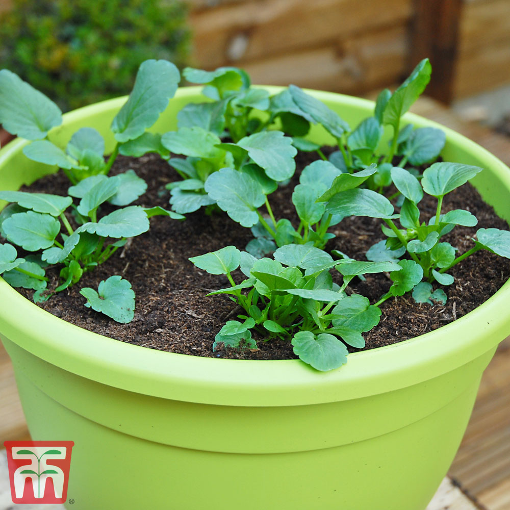 Image of Bella Lime Green Pot