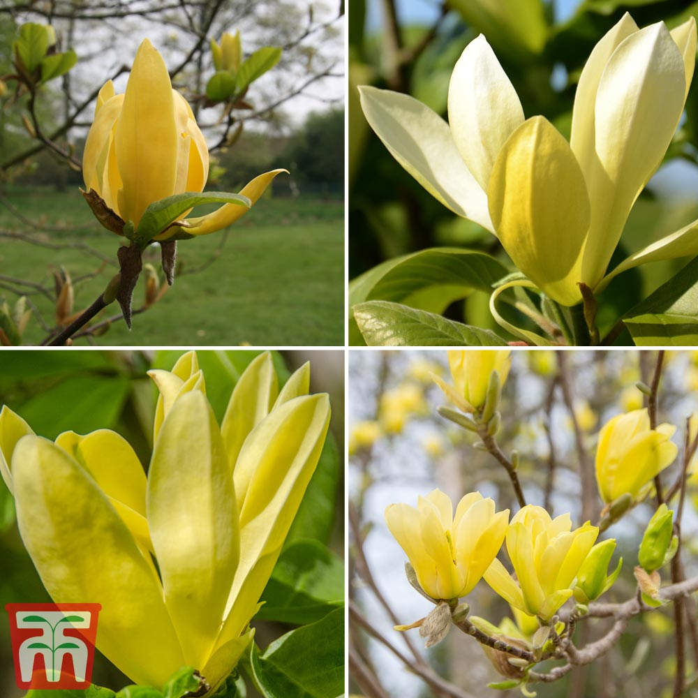 Image of Magnolia 'Deep Yellow'