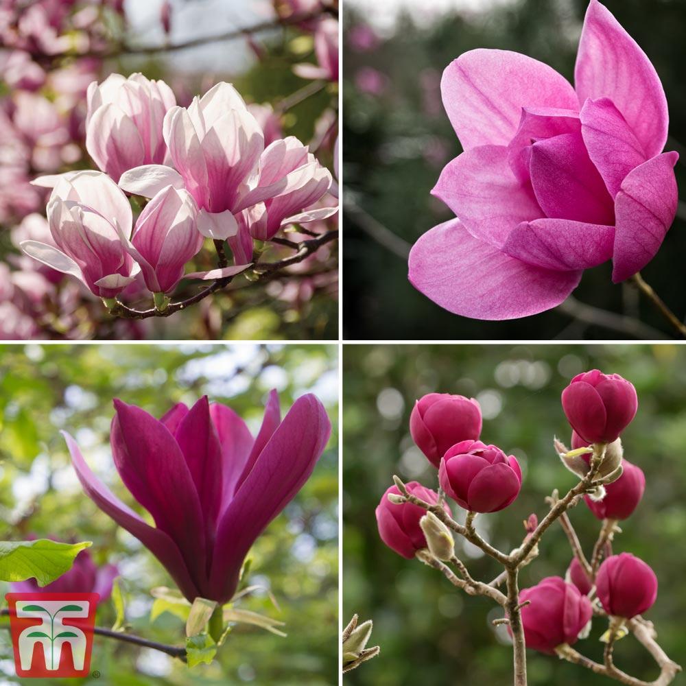 Image of Magnolia 'Deep Rose'