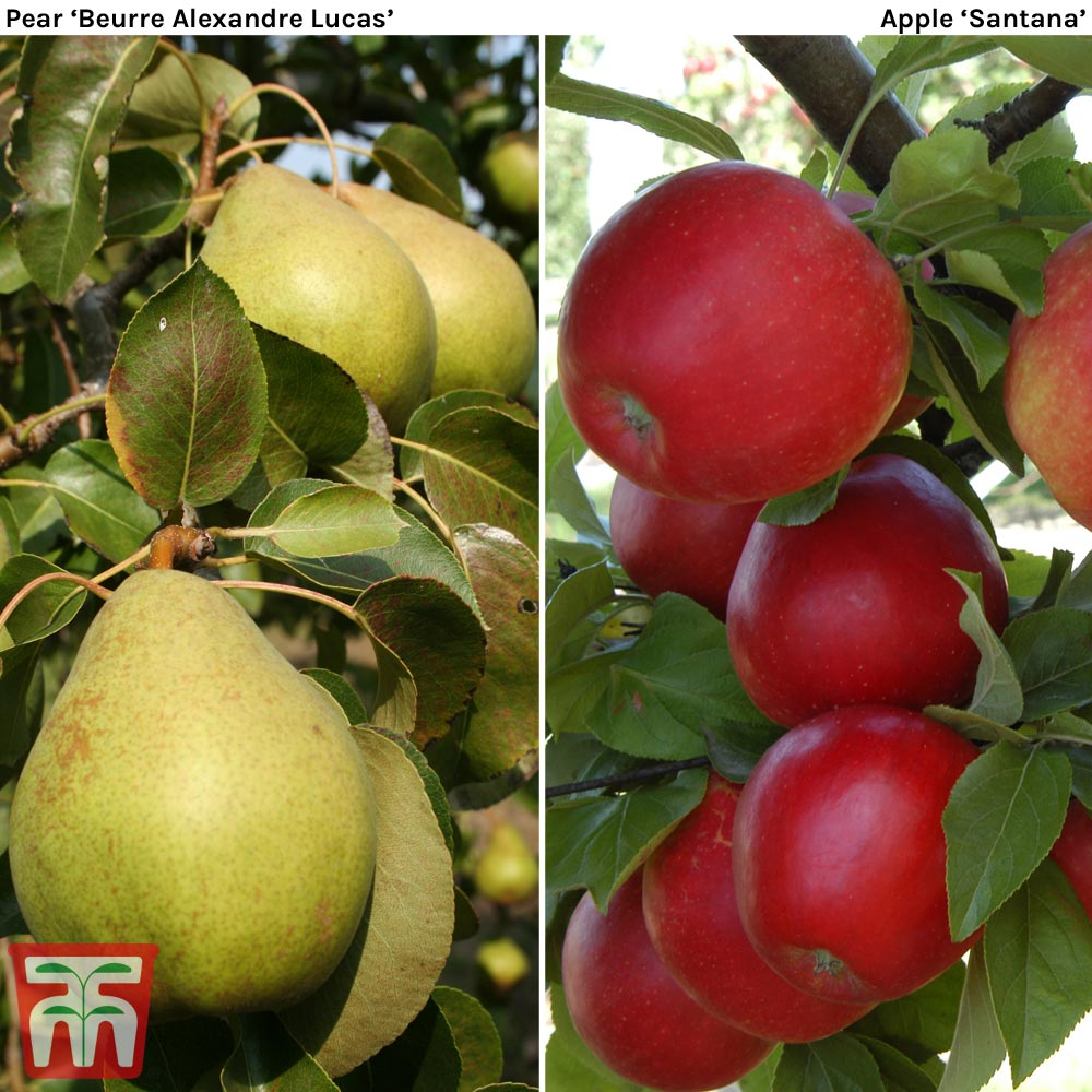 Image of Apple & Pear Duo