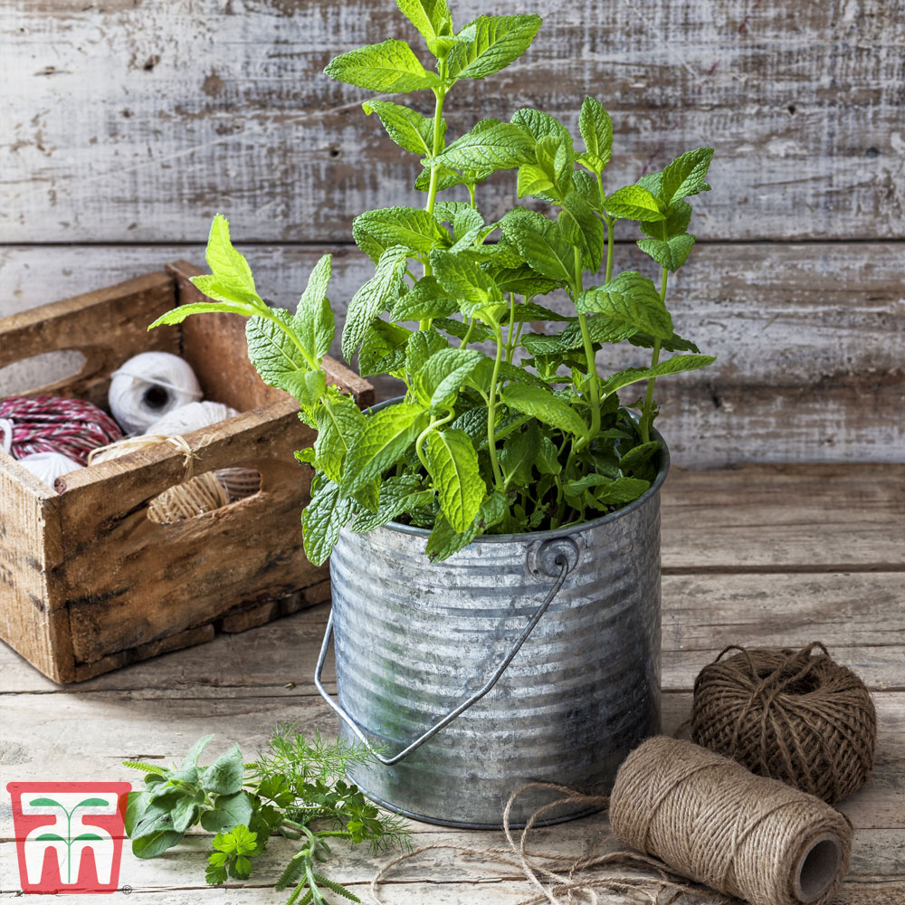 Image of Mint 'Strawberry'
