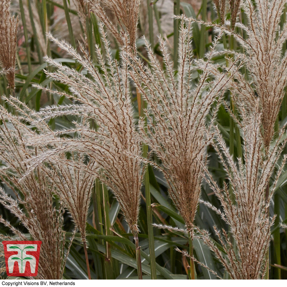 Plants & Seeds Miscanthus sinensis 'Cute One'