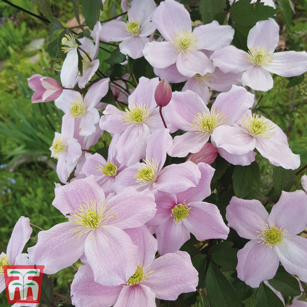 Image of Clematis montana 'Mayleen'