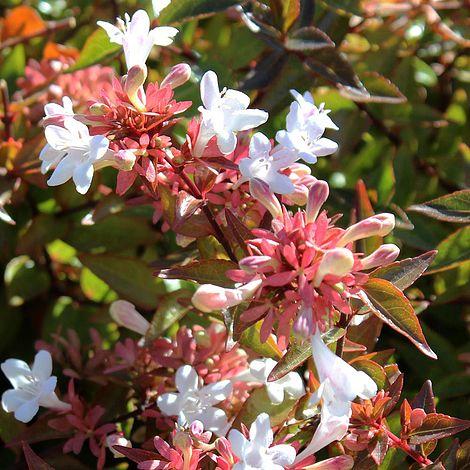 Abelia X Grandiflora Plants Thompson Morgan