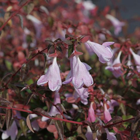 Abelia Pinky Bells Plants Thompson Morgan