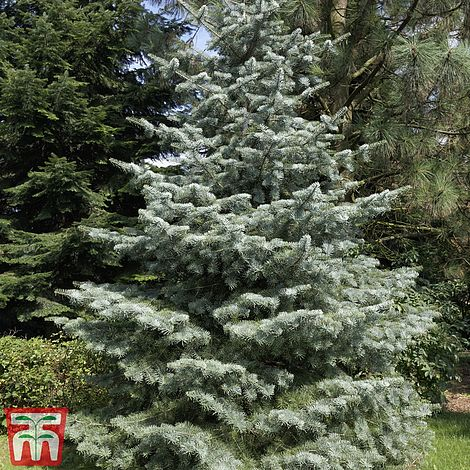 Abies Concolor Thompson Morgan