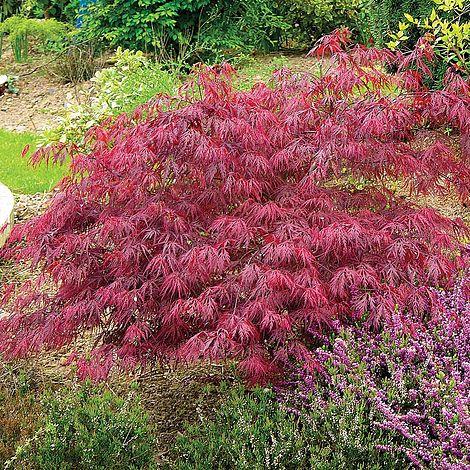 Acer Palmatum Var Dissectum Rubrum Plants Thompson Morgan