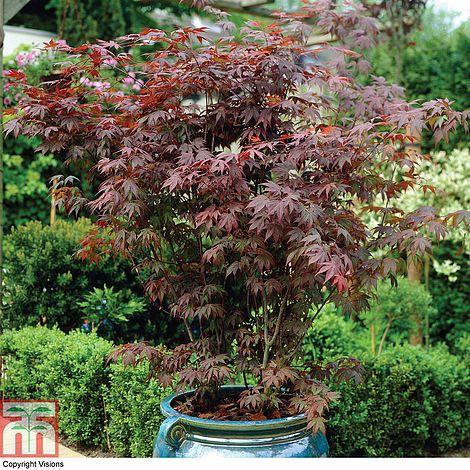 Acer Palmatum Atropurpureum Plants Thompson Morgan