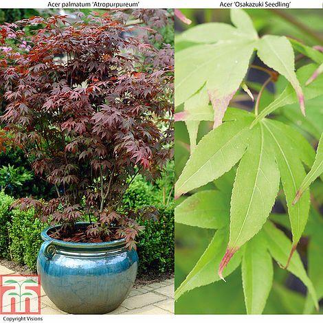 Acer Palmatum Duo Plants Thompson Morgan
