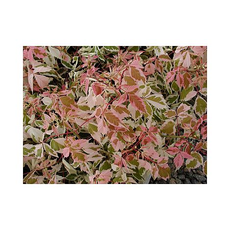 Acer Negundo Flamingo Plants Thompson Morgan