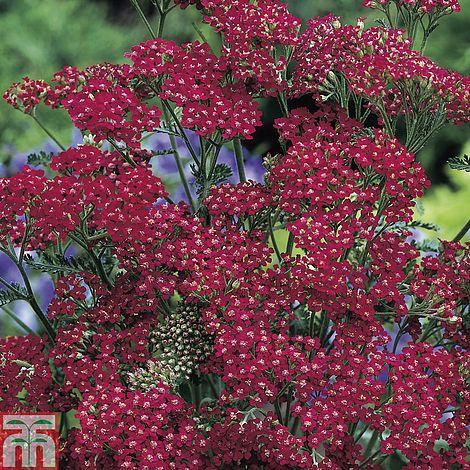 Achillea Millefolium Cassis Thompson Morgan