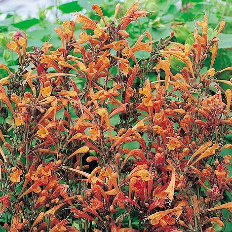 Agastache Aurantiaca Apricot Sprite Hummingbird Mint
