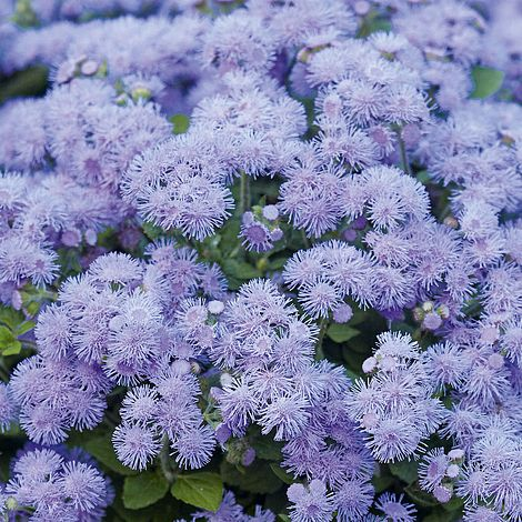 Ageratum Houstonianum Blue Danube Plug Plants Thompson Morgan