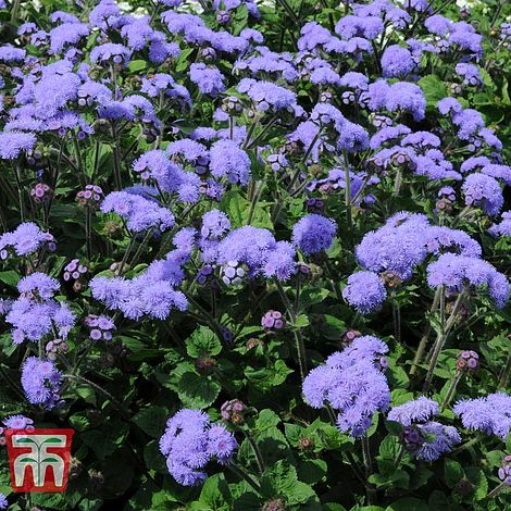 Ageratum High Tide Thompson Morgan