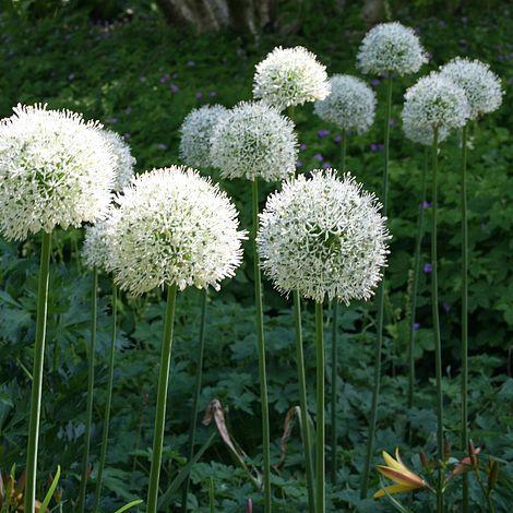 Allium Stipitatum Mount Everest Thompson Amp Morgan