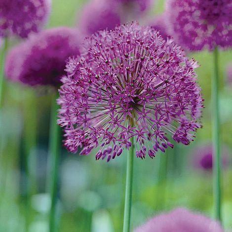 allium 39 purple sensation 39 thompson morgan. Black Bedroom Furniture Sets. Home Design Ideas