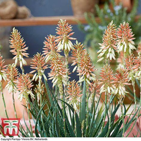 Aloe Safari Sunrise Compact Evergreen Perennial Outdoor Flowering Garden Plant