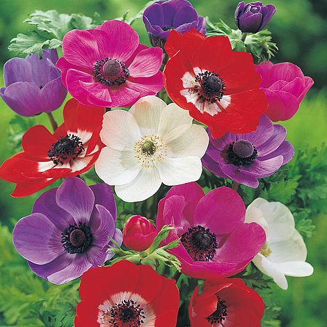 anemone coronaria 39 de caen 39 mixed thompson morgan. Black Bedroom Furniture Sets. Home Design Ideas
