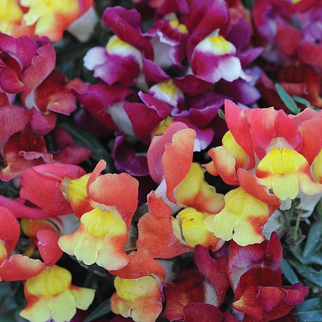 Snapdragon Seeds Snapdragon Snappy Orchid 50 Seeds