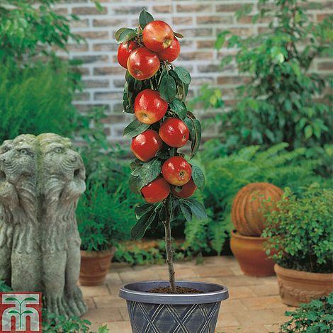 Apple Gala Mini Fruit Tree Plants Thompson Amp Morgan