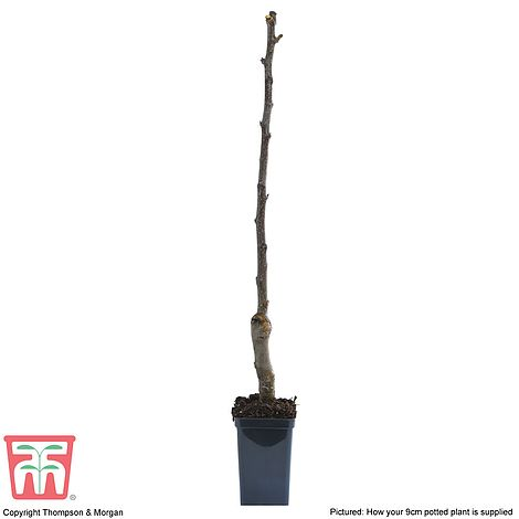9 cm pot excellent fruit and shade tree 1 yr Walnut Tree seedling 20 cm tall