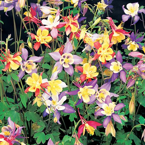 Aquilegia Caerulea Mrs Scott Elliott Plants Thompson