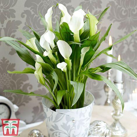 Arum Lily White House Plant Thompson Morgan