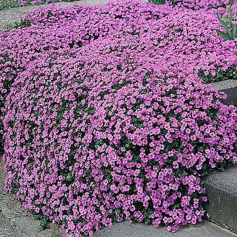Aubrieta 39 purple cascade 39 f1 hybrid seeds thompson morgan for Hearty low maintenance plants