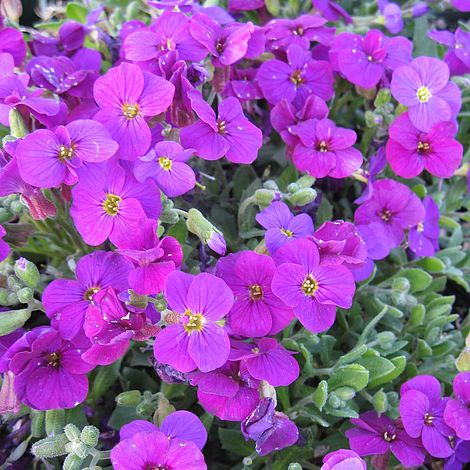 Aubretia Axcent Deep Purple x 8 Plug Plants