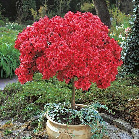 Azalea Japanese Red Thompson Amp Morgan