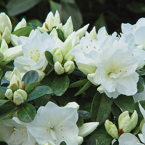 Azalea Dwarf White Plants Thompson Morgan