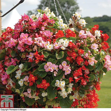 Begonia Semperflorens Lotto Mixed Plug Plants Thompson Morgan