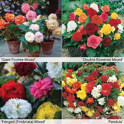 JPD Plants Begonia Mixed Tubers 24 Tubers