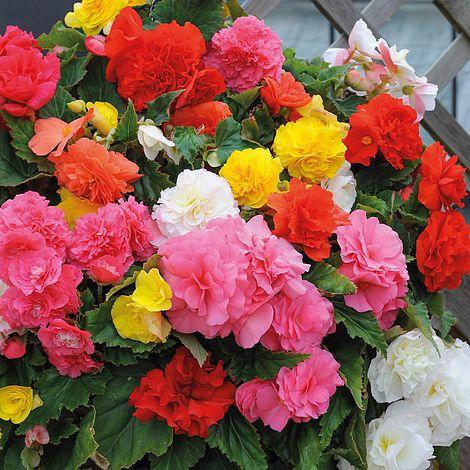 Begonia Non Stop Mixed Plug Plants Thompson Morgan