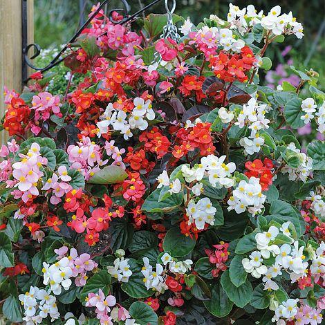 begonia semperflorens 39 summer jewels mixed 39 garden ready thompson morgan. Black Bedroom Furniture Sets. Home Design Ideas