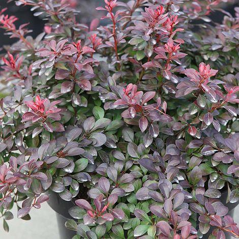 berberis thunbergii f atropurpurea 39 atropurpurea nana 39 plants thompson morgan. Black Bedroom Furniture Sets. Home Design Ideas