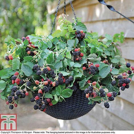 grande vente 180b1 ead08 Blackberry 'Black Cascade'Rubus fruticosus