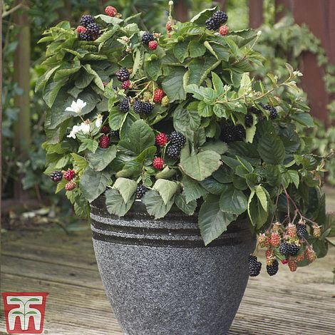 BlackBerry Potted Hardy Garden Plant Rubus Summer Fruiting 1 Grow Delicious Blackberries Gardens /& Outdoors 1 x BlackBerry Thornfree Plant in a 9cm Pot by Thompson /& Morgan Thornless Stems