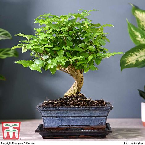 Bonsai Ligustrum House Plant Thompson Morgan