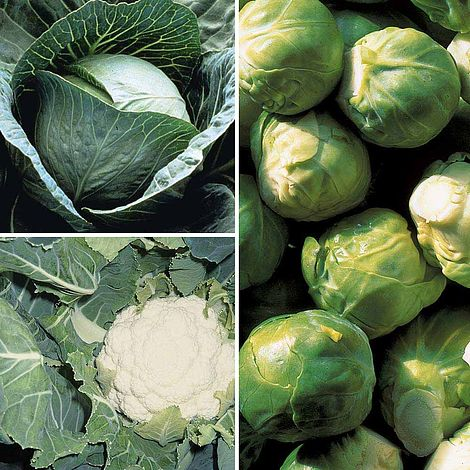 Brassica Clubroot Resistant Collection Plug Plants